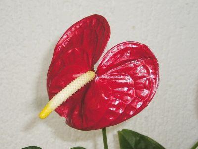 anthurium andreanum nach 2 jahren majas pflanzenblog. Black Bedroom Furniture Sets. Home Design Ideas