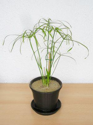 Junges Zypergras (Cyperus alternifolius)