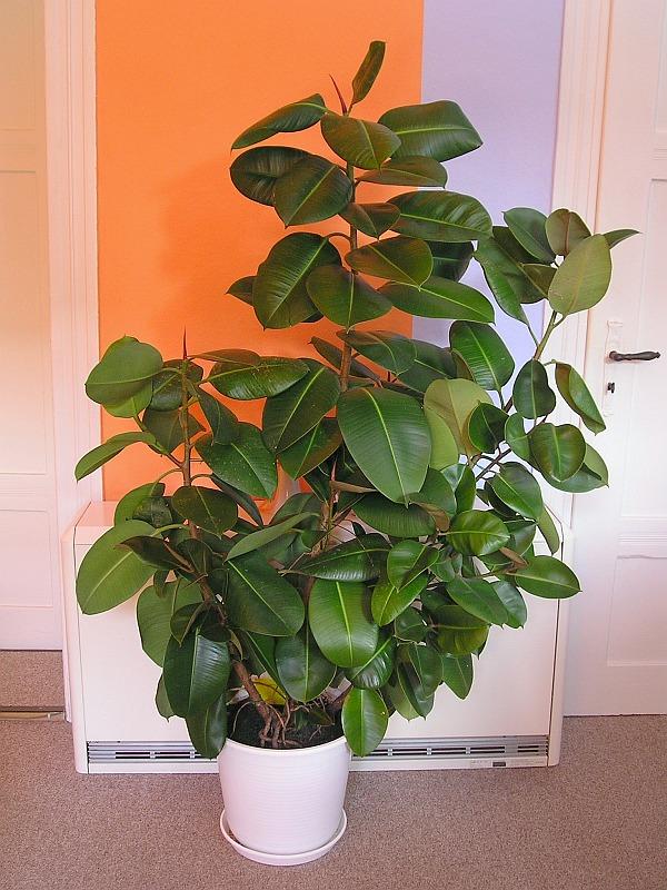 mein gummibaum ficus elastica majas pflanzenblog. Black Bedroom Furniture Sets. Home Design Ideas