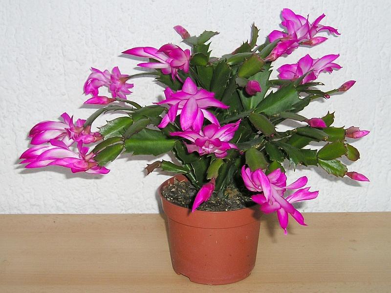 Weihnachtskaktus Blüten & Knospen fallen ab » Majas Pflanzenblog