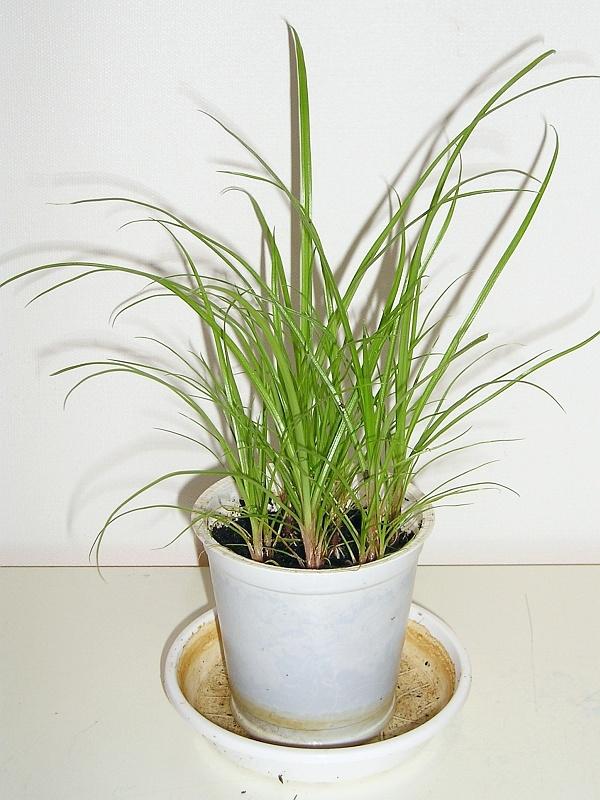 papyrus mit samen vermehren majas pflanzenblog. Black Bedroom Furniture Sets. Home Design Ideas