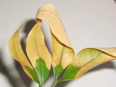 litschi pflanze mit samen vermehren majas pflanzenblog. Black Bedroom Furniture Sets. Home Design Ideas