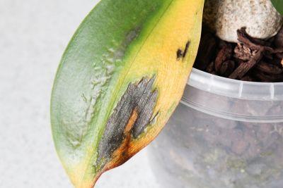 Pilzbefall an Phalaenopsis