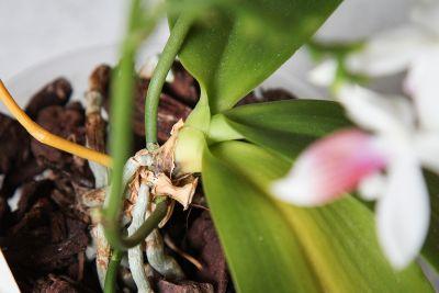 Stammfäule bei Phalaenopsis
