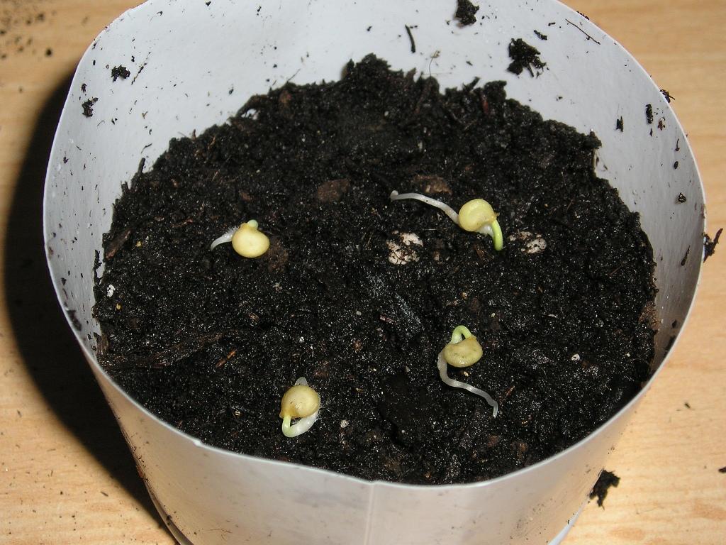 chili 39 sarit gat 39 mit samen vermehren majas pflanzenblog. Black Bedroom Furniture Sets. Home Design Ideas