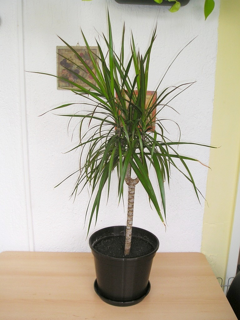 drachenbaum dracaena maginata in bicolor tricolor majas pflanzenblog. Black Bedroom Furniture Sets. Home Design Ideas