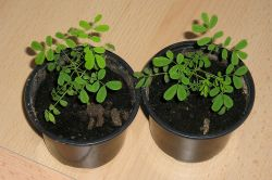 Pfauenstrauch (Caesalpinia pulcherrima) Keimlinge
