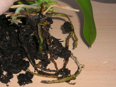 Wurzelfäule Phalaenopsis