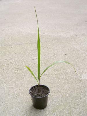 Petticoatpalme (Washingtonia filifera) Keimling