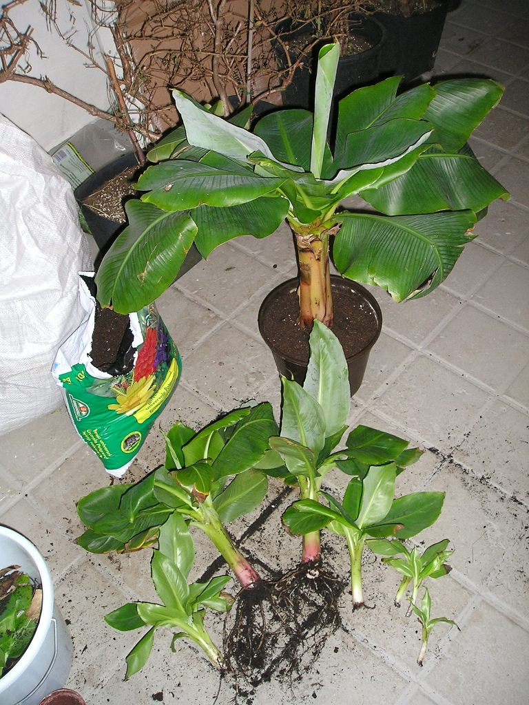 zwerg banane ableger kindel abtrennen vermehren majas pflanzenblog. Black Bedroom Furniture Sets. Home Design Ideas