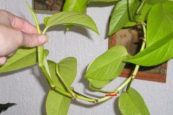Efeutute (Epipremnum pinnatum) Stecklinge