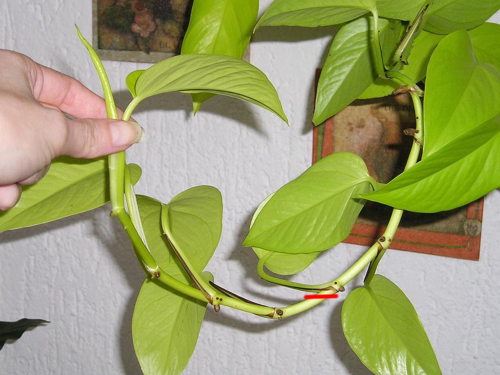 efeutute epipremnum mit stecklinge vermehren majas pflanzenblog. Black Bedroom Furniture Sets. Home Design Ideas