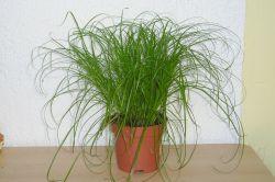 Katzengras (Cyperus zumula)