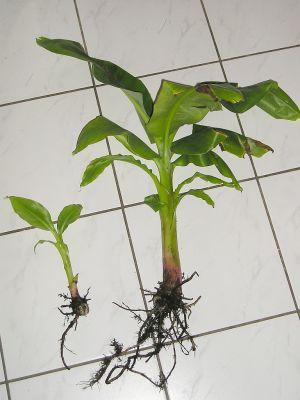 gro e banane musa mit ableger vermehren majas pflanzenblog. Black Bedroom Furniture Sets. Home Design Ideas