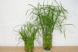 Hangebambus Stecklinge Vermehren Majas Pflanzenblog