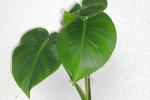 bromelie vriesea kindel vermehrung durch ableger majas pflanzenblog. Black Bedroom Furniture Sets. Home Design Ideas