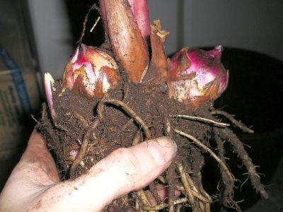 Blumenrohr Canna indica