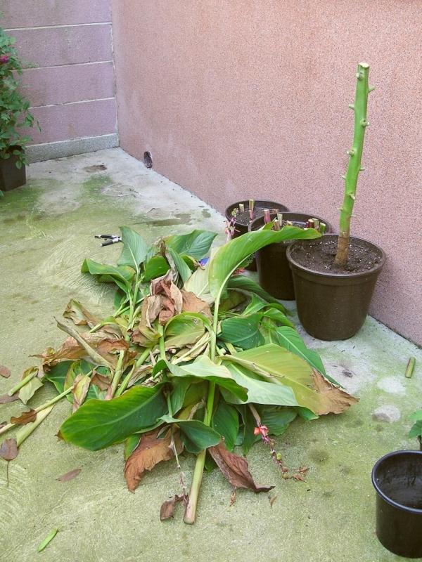 erster r ckschnitt bei tamarillo canna majas pflanzenblog. Black Bedroom Furniture Sets. Home Design Ideas
