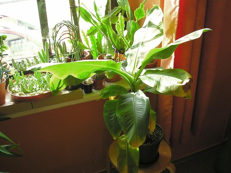 banane mit spinnmilben invasion majas pflanzenblog. Black Bedroom Furniture Sets. Home Design Ideas