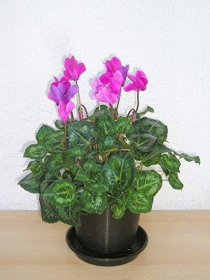 pinkes alpenveilchen cyclamen persicum majas pflanzenblog. Black Bedroom Furniture Sets. Home Design Ideas