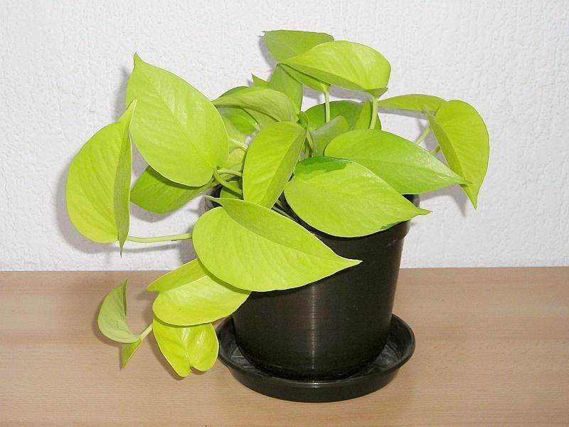 Efeutute epipremnum pinnatum 39 neon 39 majas pflanzenblog for Plantas para interiores oscuros