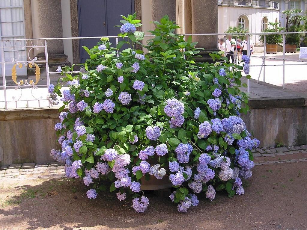 blaue hortensie hydrangea macrophylla majas pflanzenblog. Black Bedroom Furniture Sets. Home Design Ideas