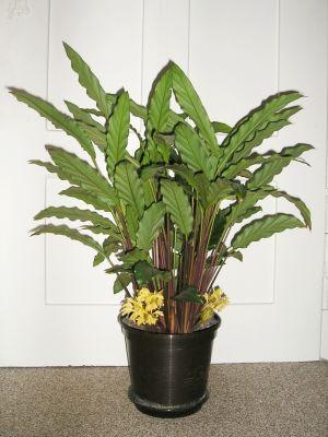 Calathea rufibarba mit bl ten majas pflanzenblog - Pflegeleichte zimmerpflanzen mit bluten ...