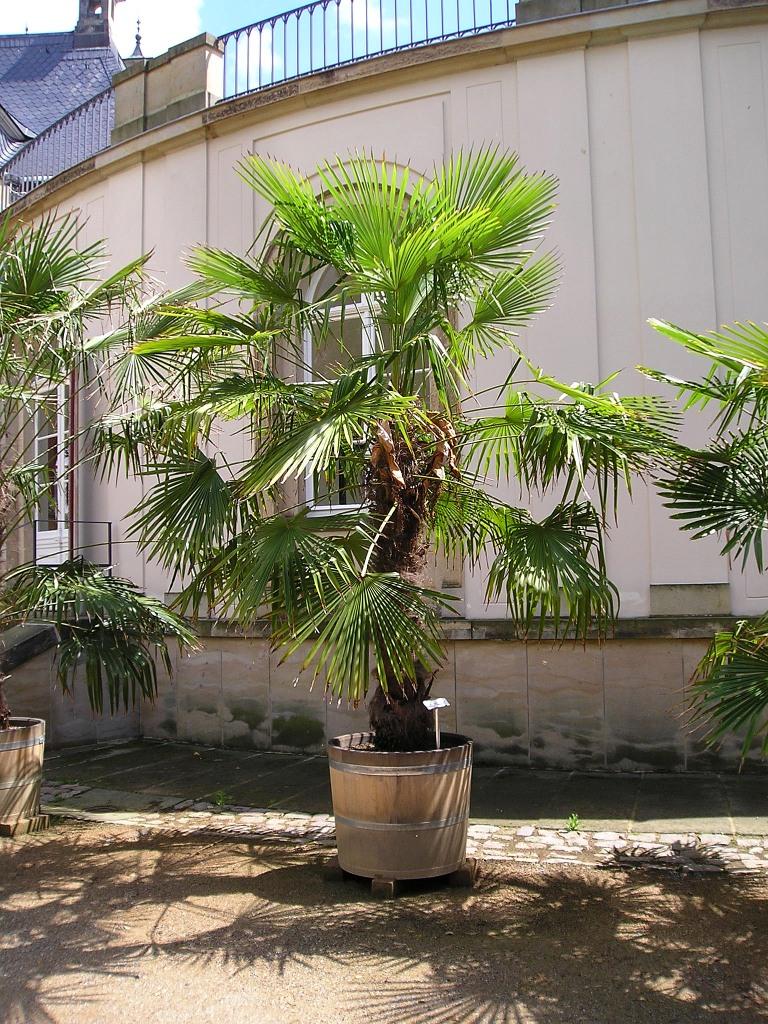 chinesische hanfpalme trachycarpus fortunei majas. Black Bedroom Furniture Sets. Home Design Ideas