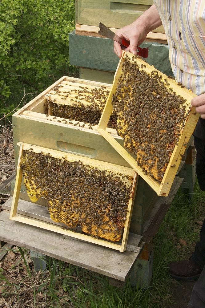 Bienenschwarm H Ngt Im Baum Majas Pflanzenblog