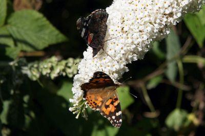 Weißer Schmetterlingsflieder