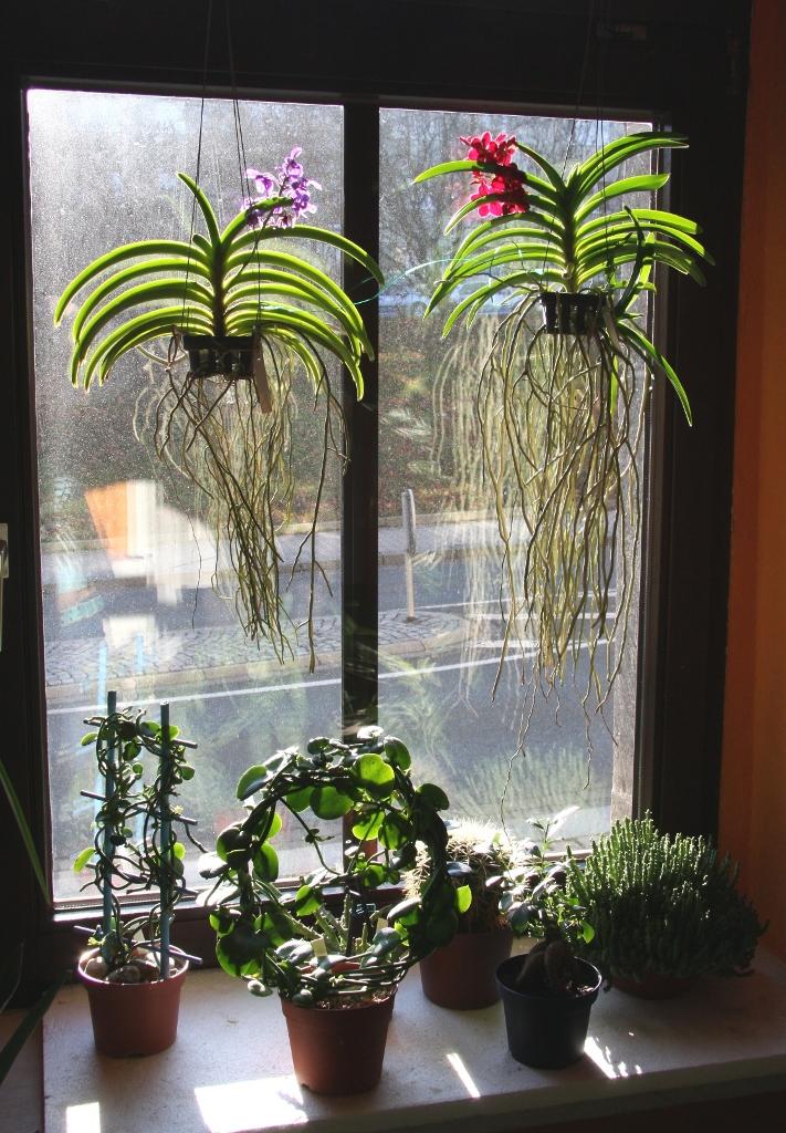 "Vanda-Orchideen ""Wild Cherry"" und ""Thai Sky"" » Majas ..."