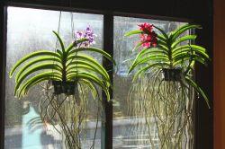 Vanda-Orchideen
