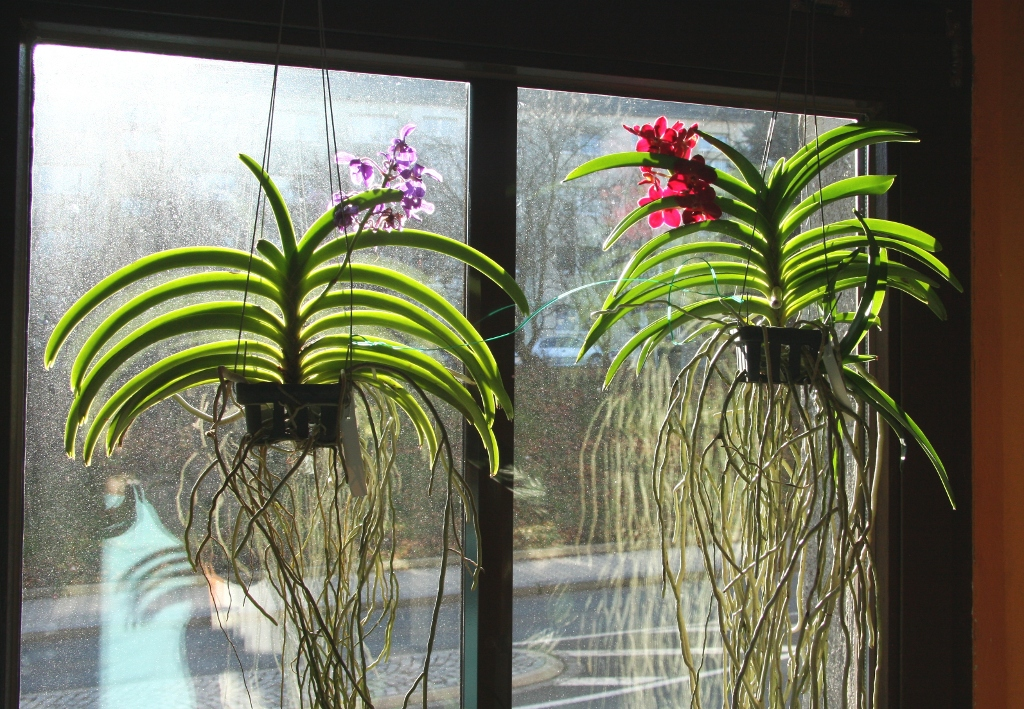 Vanda orchideen wild cherry und thai sky majas pflanzenblog - Terreau pour orchidee ...