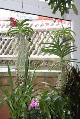 Meine Vanda-Orchideen