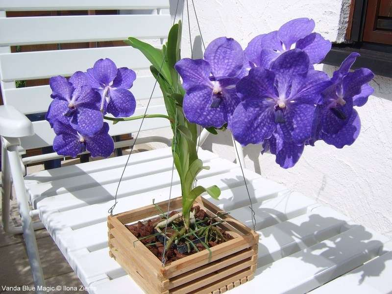 orchidee vanda blue magic pflege