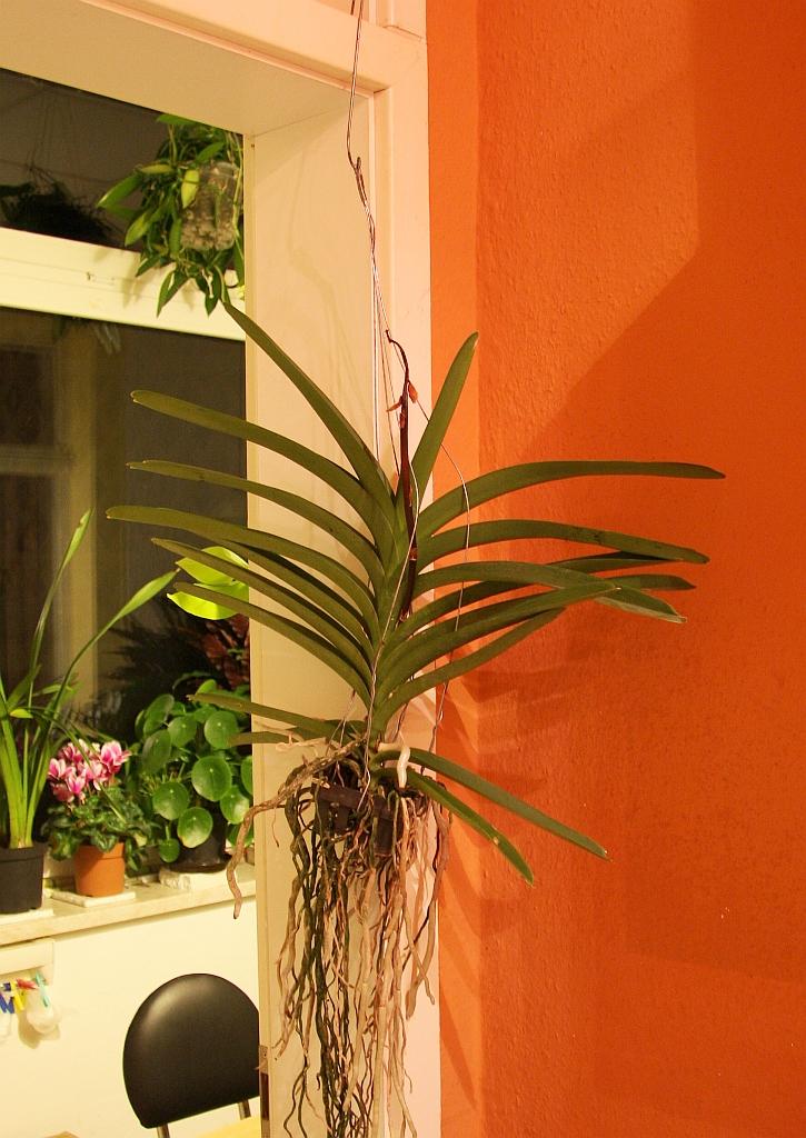vanda orchidee als einzugsgeschenk majas pflanzenblog. Black Bedroom Furniture Sets. Home Design Ideas