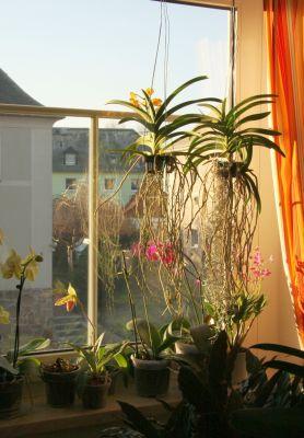 Vanda Orchideen mit Abensonne