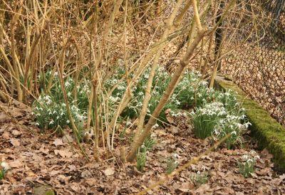 Schneeglöckchen unter Forsythia