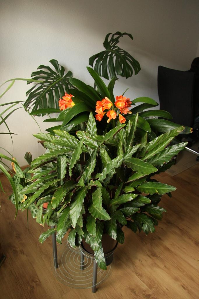 Klivie verzaubert mit ihren bl ten majas pflanzenblog - Pflegeleichte zimmerpflanzen mit bluten ...