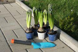Hyazinthen im Garten pflanzen