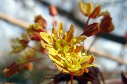 Ahorn Blüten (Acer platanoides)