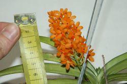 Ascocentrum miniatum Blüte