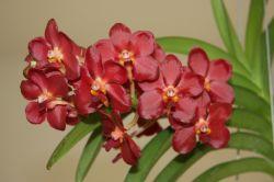 """Vanda """"Wild Cherry"""" Blüten"""