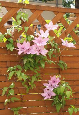 Clematis mit Blüten