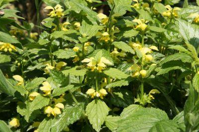 Silberblättrige Goldnesseln (Lamium argentatum)