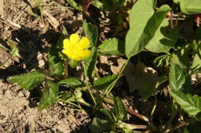 Golderdbeere (Waldsteinia fragarioides)