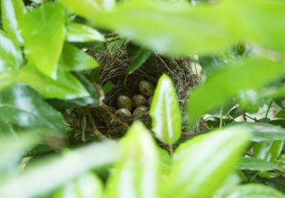 Nest der Mönchsgrasmücke