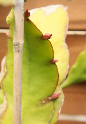 Epiphyllum unbekannt