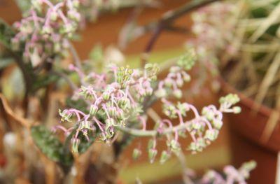 Ledebouria socialis Blüten