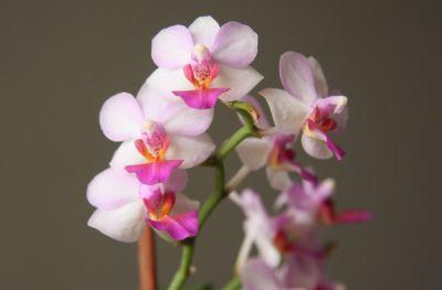 Doritaenopsis Lius Berry